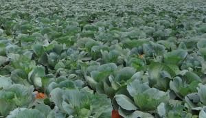 cabbage-370670_1920